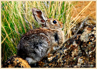 Fort Rock Rabbit